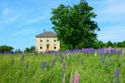 Our farmhouse on Boyden Lake this June with lupines in full bloom.